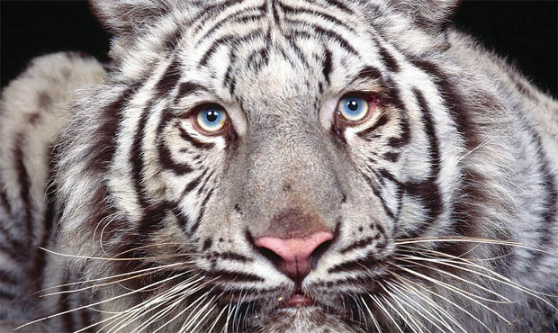 Read more about the article Maltese Tiger เสือโคร่งลายคราม